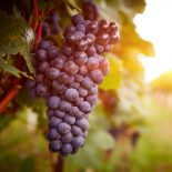 Большие проблемы мелких виноградарей: что спасет бизнес от прогорания?
